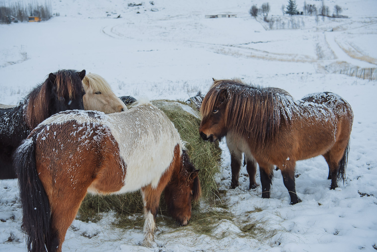 iceland ring road horses 12