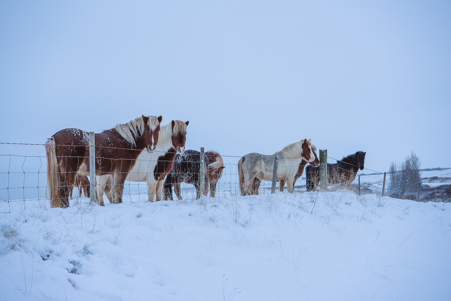 iceland ring road horses 26
