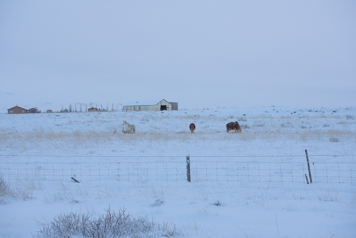 iceland ring road horses 3