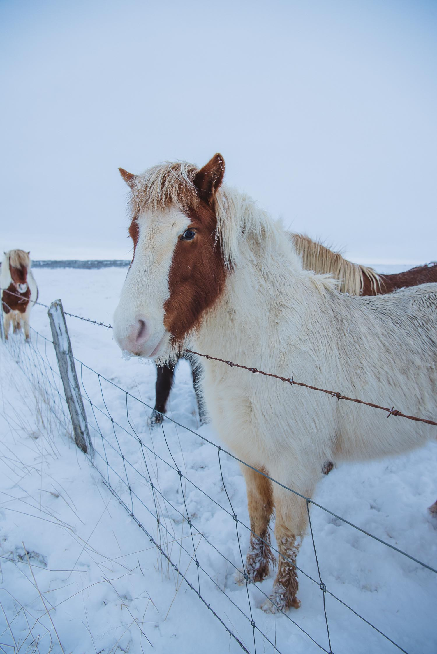 iceland ring road horses 33