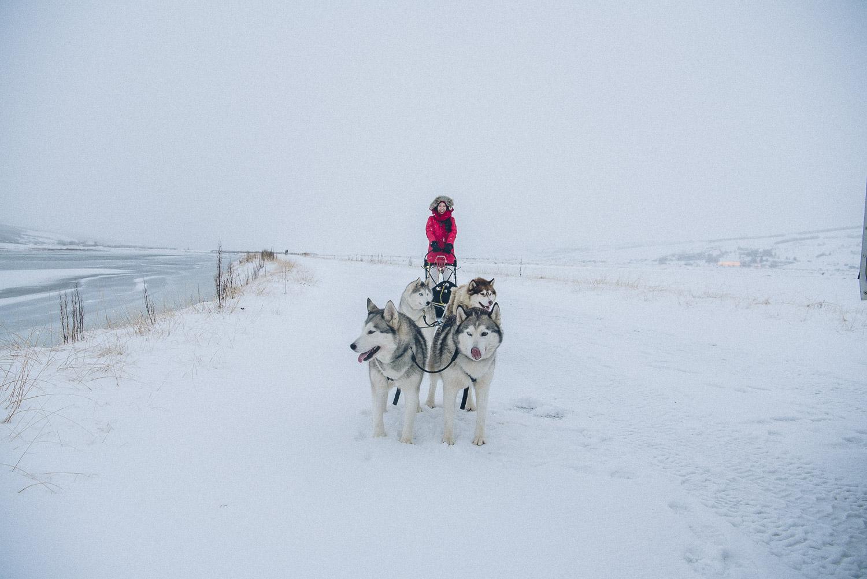 dog sledding iceland 1