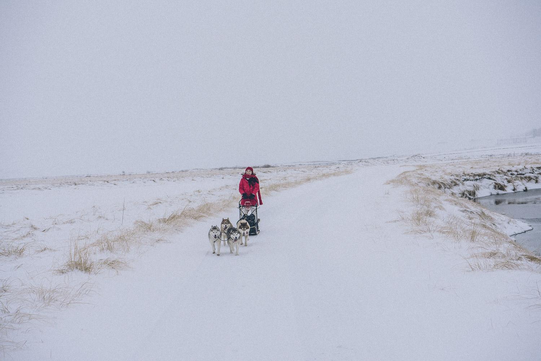 dog sledding iceland 10