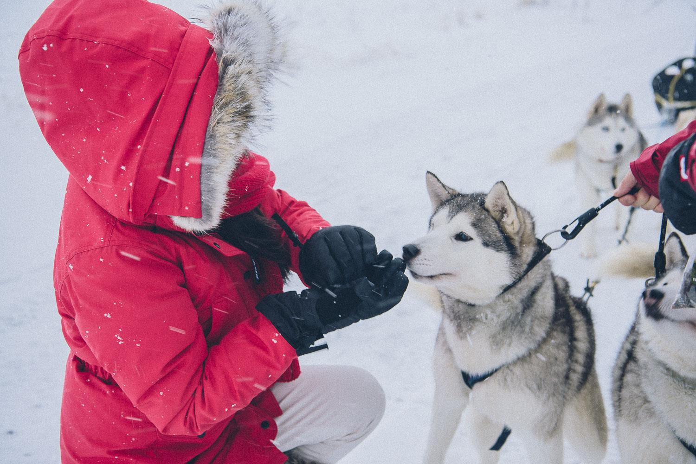 dog sledding iceland 2