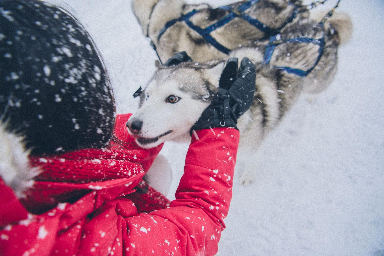 dog sledding iceland 3