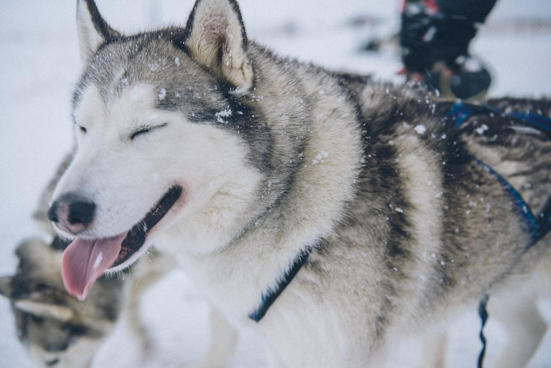 dog sledding iceland 4