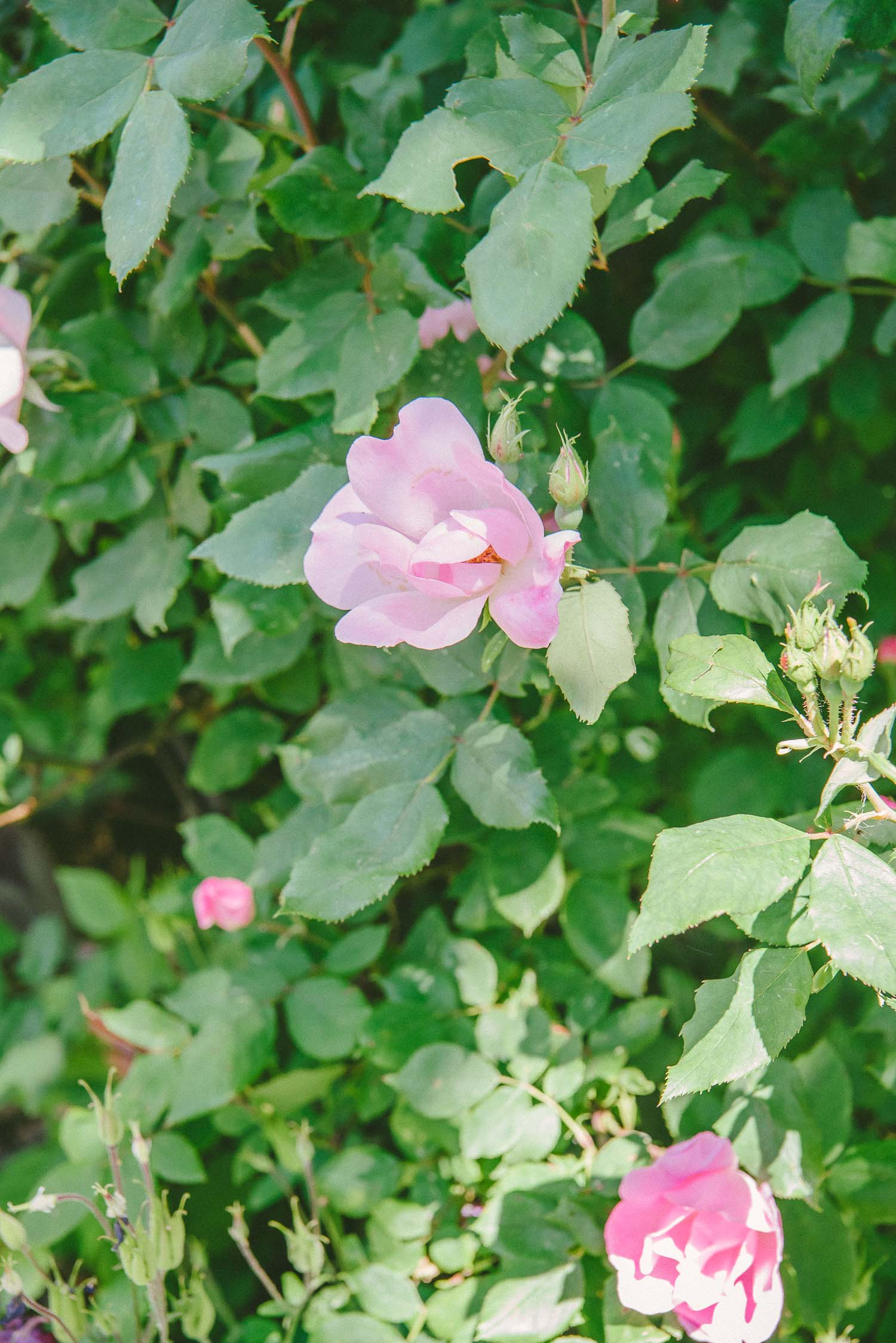 brooklyn rose garden 5