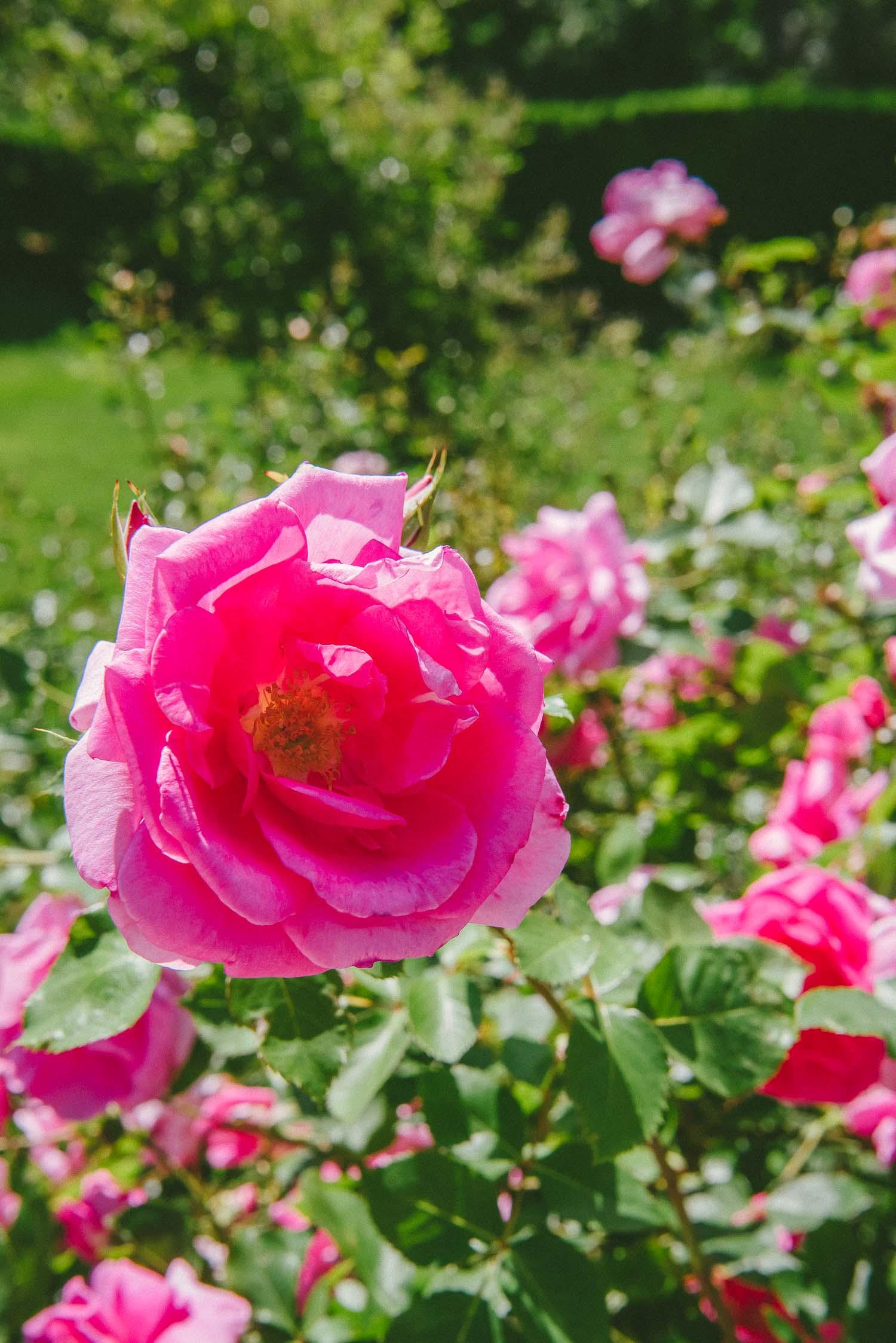 brooklyn rose garden 6